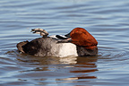 Male Pochard preening on water GB (Pochard)