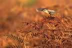 Female Stonechat taking off from dried bracken ferns GB (Stonechats)