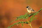 Male Stonechat standing on bracken ferns GB (Stonechats)