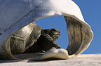 Aldabra Giant Tortoise seeing through a carapace (Aldabra giant tortoise)
