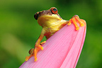 Hourglass Treefrog on a flower Bijagua Costa Rica
