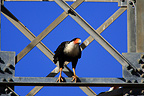 Crested Caracara on a metal structure, Costa Rica�