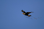 Crested Caracara in flight with twig Costa Rica (Crested caracara)