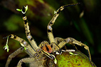 Tarantula in defensive position Costa Rica� (Spider)