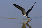 Black Skimmer fishing in flight Llanos Venezuela (Black Skimmer)