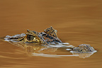 Portrait of spectacled caiman surface Llanos Venezuela� (Common caiman)