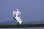 Fight Great Egret in flight Llanos Venezuela� (Great Egret)