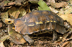 Forest Hinged Tortoise (Serrated Hinge-back Tortoise)