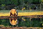 Brown bear walking along the water Martinselkonen Finland (Brown bear)