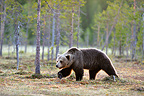 Brown Bear walking in the taiga Martinselkonen Finland (Brown bear)