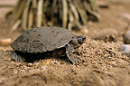 Brown Roofed Turtle (Brown roofed turtle)