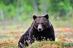 Brown Bear on clearing wood Martinselkonen Finland (Brown bear)