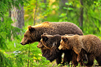 Brown bear female and young in taiga Martinselkonen Finland  (Brown bear)