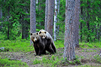 Brown Bear mating Martinselkonen Finland  (Brown bear)