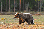 Brown bear walking in a swamp Martinselkonen Finland (Brown bear)