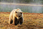 Young Brown Bear walking Martinselkonen Finland (Brown bear)