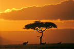 Hartebeest and locust tree at sunset Kenya (Hartebeest)