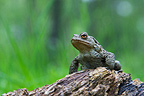 Common Toad on a log of wood in a forest Scotland (European toad)