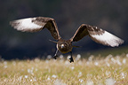 Great Skua in flight over a peat bog in Scotland (Great Skua)