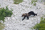 Marsican Bear in scree  National Park of Abruzzo Italy  (Brown bear)