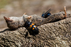 Beetles and flies around the corpse of a shrew�