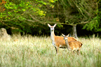 Red Deer female and young in grass Dyrehaven Denmark (Red deer)