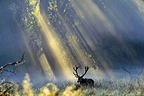 Male red deer and rays of sun, Dyrehaven, Denmark