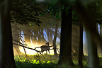 Fallow Deer through the woods at dawn Dyrehaven Denmark  (Fallow Deer)