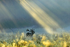 Red Deer stag roaring under sunlight Denmark (Red deer)
