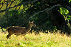 Female red deer in a clearing Dyrehaven Denmark  (Red deer)