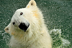 Polar bear splashing in water  (Polar bear)