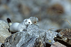 Ermine in winter coat in the PN Mercantour France (Ermine)