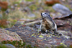 Alpine marmot on a rock Pyrenees France (Alpine marmot )