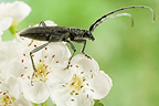 Capricorn beetle in white flowers France
