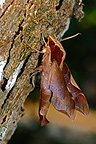 Moth on the bark Brazil