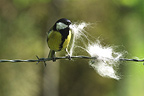 Great Tit levying animal hair for its nest France (Great Tit)