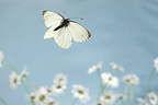 Green-veined White flying and flowers Burgundy France