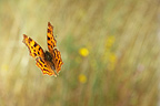 Comma Butterfly flying Burgundy France