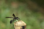 Solitary wasp bringing a prey in tutor bamboo  (wasp)
