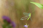 Green lacewing in flight and flower Burgundy France