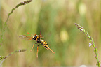 European Paper Wasp in flight and flower Burgundy France (wasp)