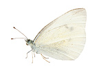 Cabbage butterfly in studio