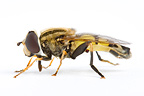 Syrphid in studio