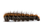 Caterpillar of Fox moth in studio