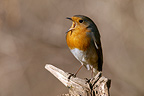 European Robin singing on deadwood France (European Robin)