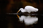 Great Egret on the lookout in a river France (Great Egret)