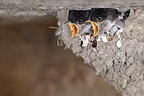 Young House Martins at nest France� (House Martin)