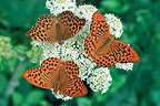 Silver-washed Fritillaries on an umbel France�