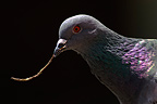 Rock dove with a twig in its beak France  (Rock pigeon)