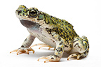 Green Toad from Texas in studio